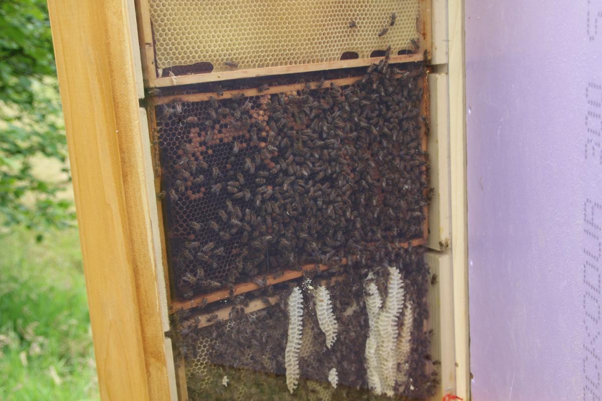 Bienenschaukasten Natur Ag Sögeln Wir Lieben Was Wir Tun